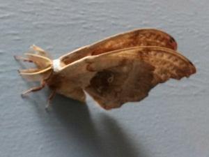 osun butterfly
